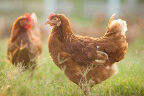 Заговоры для увеличения яйценоскости кур