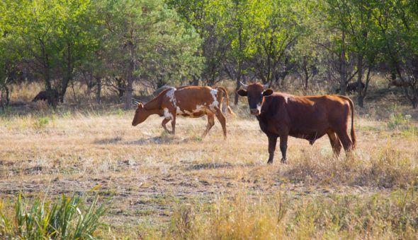 Снятие порчи и сглаза с коровы