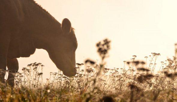 Самочувствие коровы можно улучшить