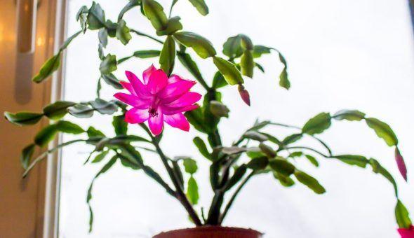 Суеверия связанные с цветком Декабрист