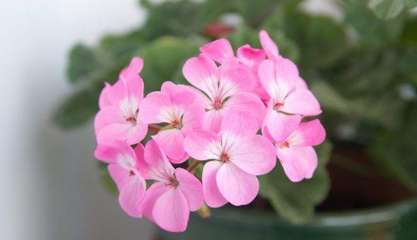 Розовое растение успокаивает детей