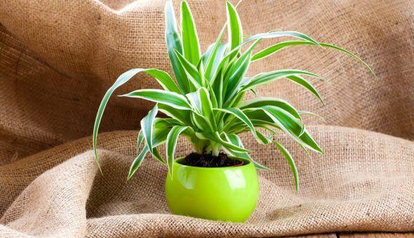 Растение Хлорофитум в доме