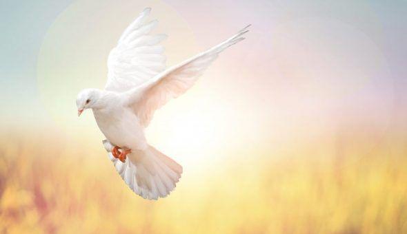 Если прилетел белый голубь