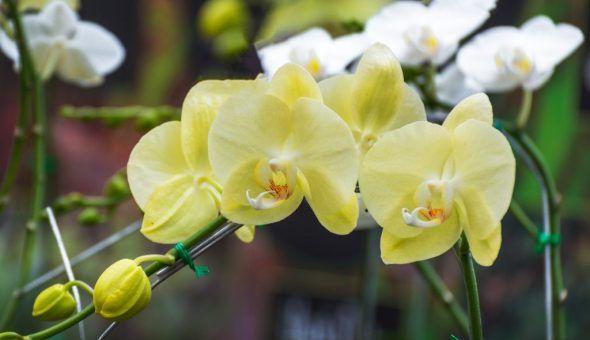 Комнатная орхидея привлекает мужчин