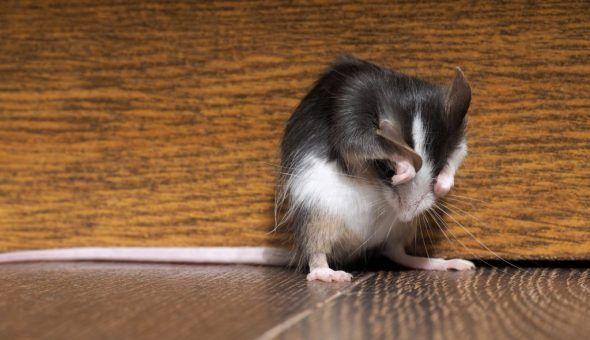Сильные заговоры против крыс