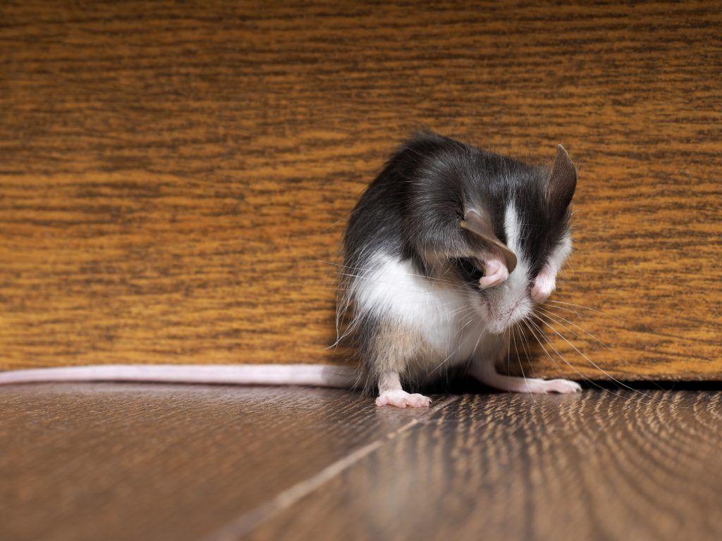Заговоры против крыс и мышей в доме чтобы ушли