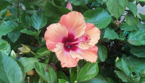 Гибискус или цветок смерти