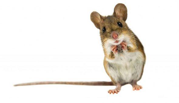 Народные приметы про мышей