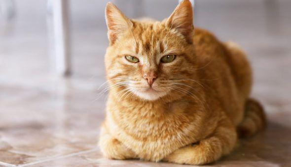 Приметы про рыжих котов в доме