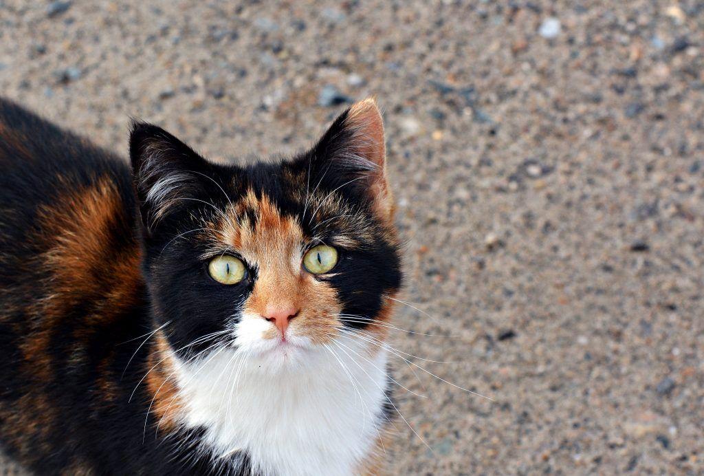 Приметы о содержании дома трхцветной кошки