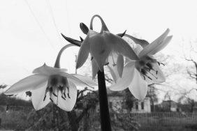 Приметы и суеверия о цветке Эухарис