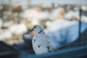 Приметы о голубе, залетевшем в окноПриметы о голубе, залетевшем в окно