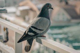 Приметы и суеверия про голубей