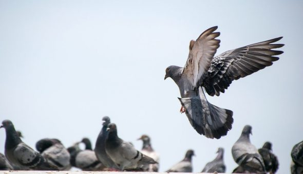 Птица часто прилетает к окну