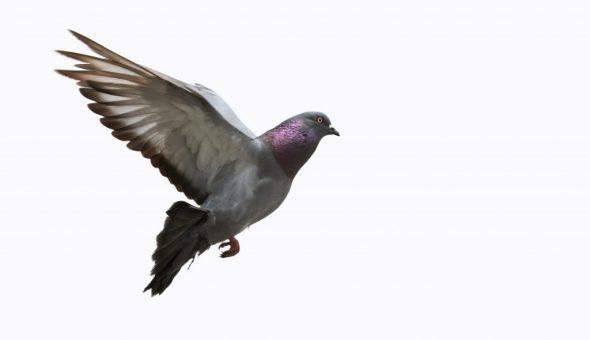 Если голубь сел на голову