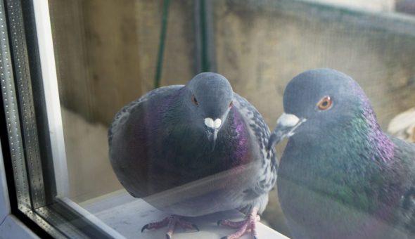 Приметы о голубе за окном