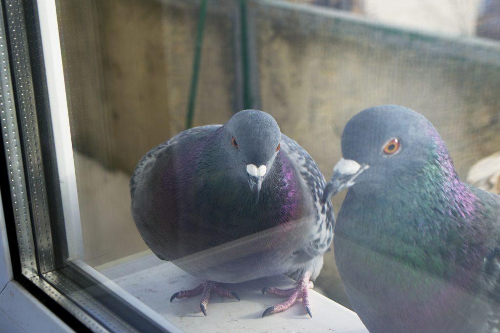 Если голубь прилетает на окно примета