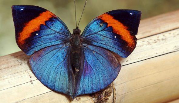 Приметы о бабочках в доме или квартире