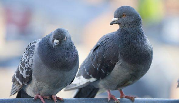 Приметы о голубях не несут негатива