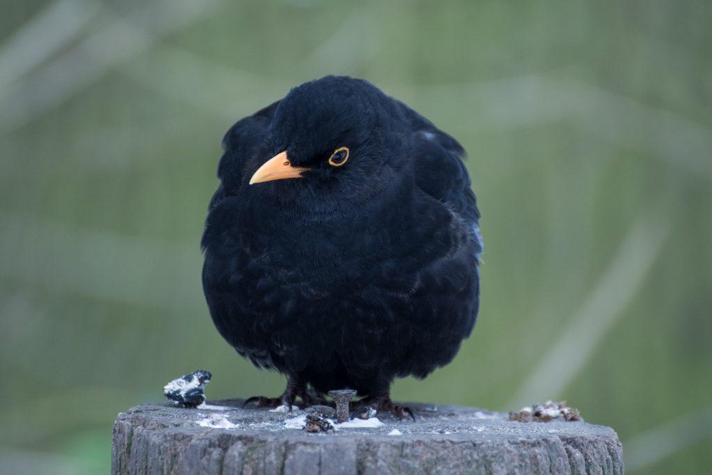 Приметы про птиц голубь предвестник счастья