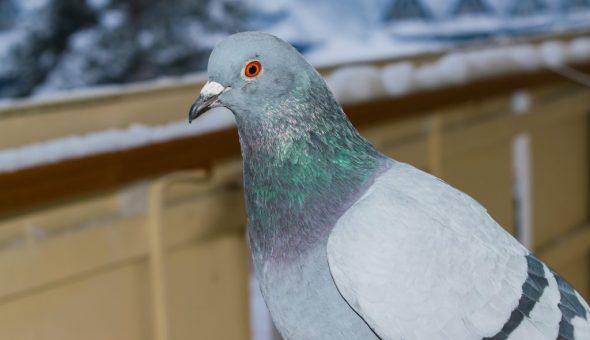 Приметы о голубе на балконе