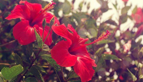 Китайская роза — цветок смерти