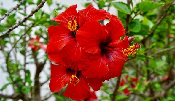 Китайская роза — символ любви и страсти