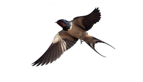 Высокий полет ласточки