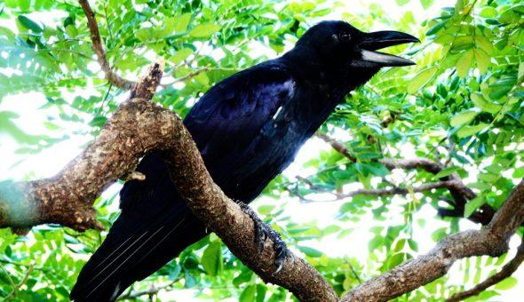 Карканье вороны можно трактовать по-разному