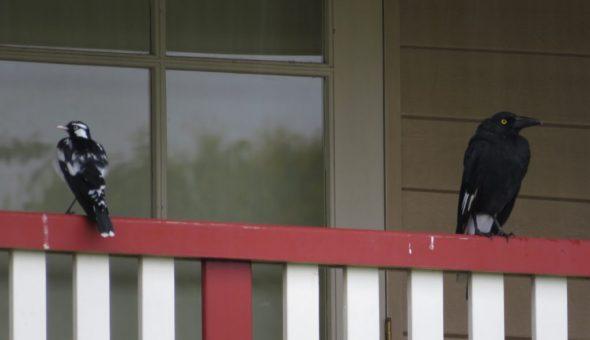 Ворона стучит и каркает за окном — кто-то умрет